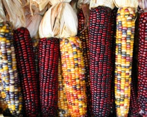 Traditional varieties of maize