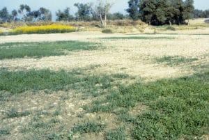 Salt stress in wheat in the field
